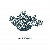 Acropora Coral Vector Illustration. Drawing Of Sea Polyp On White Background. poster