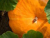Big Orange Pumpkins Growing In The Garden. Growing Pumpkins. Pumpkin Plant. Pumpkin In Rural Scene.  poster