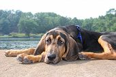 foto of bloodhound  - Young black and tan bloodhound waits on dock - JPG