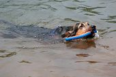foto of bloodhound  - A young black and tan bloodhound swimming - JPG