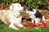 stock photo of bitch  - Nice border collie bitch with puppy in red leaves in autumn - JPG
