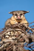 foto of possum  - brush tail possum in tree - JPG