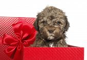 Lagotto Romagnolo dog puppy as gift