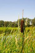 stock photo of bulrushes  - Bulrush near water in Holland - JPG