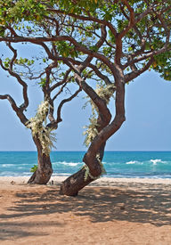 stock photo of heliotrope  - This romantic image is two tropical heliotrope trees with clusters of white orchids growing from the trunks - JPG
