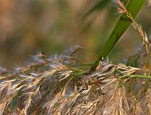 pic of pampas grass  - Close up of a grasshopper feeding on pampas grass - JPG