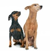 foto of miniature pinscher  - purebred miniature pinschers in front of white background - JPG