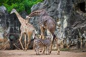 Group Of Giraffe (giraffa Camelopardalis) And Plains Zebras (equus Quagga)
