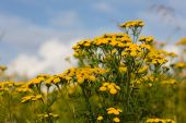 image of tansy  - Tansy on a summer meadow against the sky - JPG