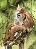 picture of screech-owl  - a little red phased screech owl in nature alone daytime - JPG