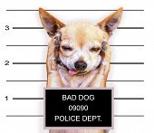 a mugshot of a cute chihuahua
