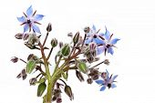 image of borage  - Borage herb flowers on a white background - JPG