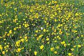 stock photo of defloration  - Deflorate dandelion in the field of blooming dandelions - JPG