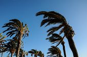 stock photo of hurricane wind  - Palm Tree Blowing In The Wind Tenerife Canary Islands Spain - JPG