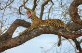 Leopard Lying On The Tree