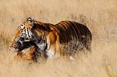 stock photo of tiger cub  - An affectionate moment between a tiger mother and her cub - JPG