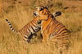 picture of tiger cub  - An affectionate moment between a Bengal Tiger and her cub