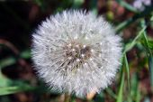 foto of defloration  - Deflorate spring fluffy dandelion seeds in nature - JPG