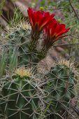 picture of cactus  - Echinocereus triglochidiatushedgehog cactus also known as Kingcup cactus Claretcup and Mojave mound cactus - JPG