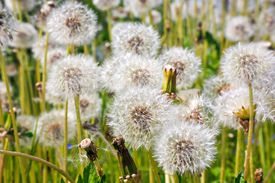 pic of defloration  - Overblown flowers of plant dandelion on the field - JPG