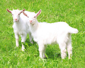 stock photo of baby goat  - Two white baby goat against green grass - JPG