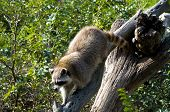 picture of omnivore  - A curious raccoon alone on the tree