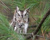 stock photo of screech-owl  - A Eastern Screech Owl  - JPG