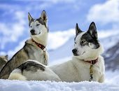 foto of husky sled dog breeds  - Black and white husky dogs resting on the snow - JPG