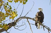 pic of cottonwood  - American Bald Eagle on the perch Longmont Colorado Boulder County - JPG