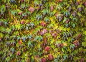 stock photo of english ivy  - English Ivy that is Climbing up a Wall - JPG