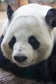 image of panda bear  - big Chinese panda bear close up face portrait - JPG