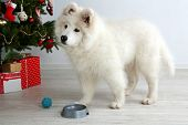 pic of dog christmas  - Samoyed dog with metal bowl and ball near Christmas tree in room on white wall background - JPG