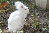 picture of eat grass  - Cute fluffy angora bunny rabbit sitting on grass and eating snowdrop flowers - JPG