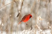 image of cardinal-bird  - Male northern cardinal perched on a branch following a winter storm