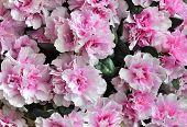 image of azalea  - Pink Azaleas in Full Bloom Close - JPG