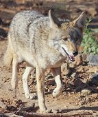 pic of coyote  - A Close Up Portrait of a Coyote Canis latrans - JPG