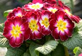 picture of primrose  - Colorful variegated red and yellow primroses in a dense cluster of flowers above fresh green leaves on a potted plant - JPG
