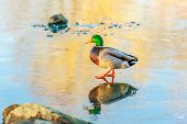 image of male mallard  - A male mallard casually walks on a frozen lake - JPG