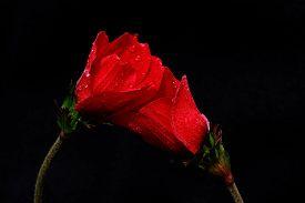stock photo of windflowers  - anemone windflower twin  LOVE lovers mydarling kissme - JPG
