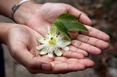picture of passion christ  - Closeup of hands holding beautiful passion fruit flower - JPG