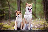 picture of puppies mother dog  - adorable shiba inu dog and small puppy - JPG