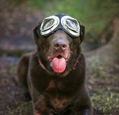 foto of goggles  -  a chocolate labrador retriever posing for the camera during a hot summer day with goggles on with his tongue poking out  - JPG