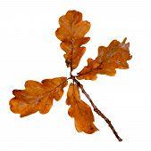 Autumn Oak Leaves On A Twig. Dead Dry Oak Leaves. Isolate poster