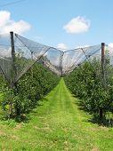 image of apple orchard  - Apple garden - JPG