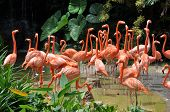 stock photo of pink flamingos  - Caribbean flamingos - JPG
