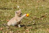 Tabby Kitten Play In Backyard. Fluffy Kitty Play With A Ball poster