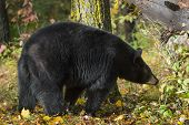 Black Bear (ursus Americanus) Walks Past Tree - Captive Animal poster