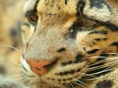 picture of ocelot  - Ocelot - JPG