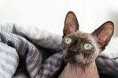 Cat Muzzle, The Cat Of Breed The Canadian Sphynx Under A Grey Blanket poster