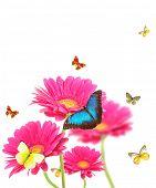 Постер, плакат: Цветы розовые герберы с Экзотические бабочки